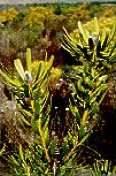 Leucadendron platyspermum