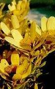 Leucadendron sessile