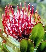 Leucospermum glabrum