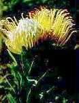 Leucospermum gueinzii