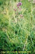 Limonium gmelinii ssp. hungaricum