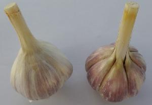 Allium sativum ssp. sagittatum Lipov