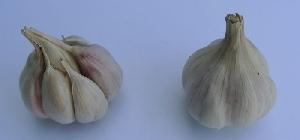 Allium sativum ssp. sativum Lumír
