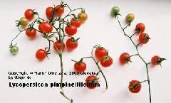 Lycopersicon pimpinellifolium