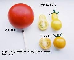 Lycopersicon esculentum convar. parvibaccatum var. cerasiformis Minigold