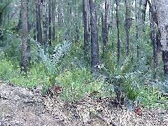 Macrozamia montana