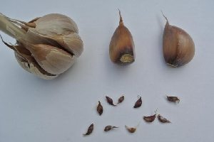 Allium sativum ssp. sagittatum Dutch Rocambole