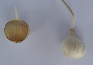 Allium sativum ssp. sativum Novi Vinodolski softneck 2