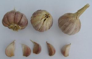 Allium sativum ssp. sagittatum Aglio Rosso di Nubia (Nubia Red)