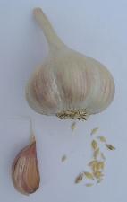 Allium sativum ssp. sagittatum Orava II