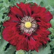 Papaver somniferum ssp. somniferum Afghan Red Frilly