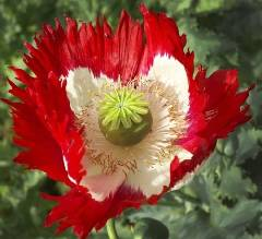 Papaver somniferum ssp. somniferum Danish Flag