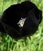 Papaver somniferum ssp. somniferum Indian Black