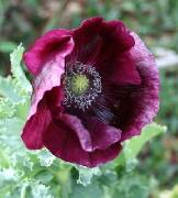 Papaver somniferum ssp. somniferum Turkish Purple
