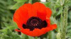 Papaver somniferum ssp. somniferum Turkish Red