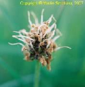Plantago atrata ssp. atrata