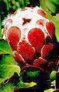 Protea grandiceps (12/2019)