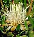 Protea lanceolata
