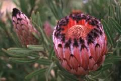 Protea neriifolia (12/2019)