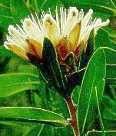 Protea subvestita