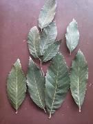 Quercus leucotrichophora (500 g)  (12/2018)