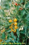 Lycopersicon esculentum convar. parvibaccatum var. cerasiformis Yellow Cherry