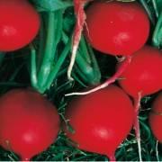 Raphanus sativus var. radicula Scarlet Champion