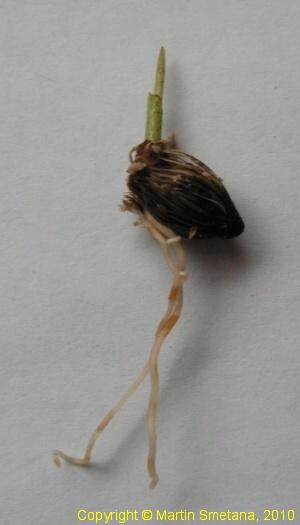 Rhopalostylis sapida Chatham Islands