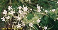 Saxifraga rotundifolia ssp. rotundifolia