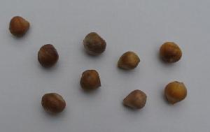 Allium sativum ssp. sagittatum [bulbils] Šenkovec