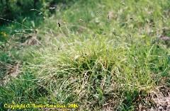 Sesleria caerulea (Sesleria albicans)