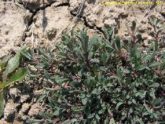 Silene uniflora ssp. uniflora