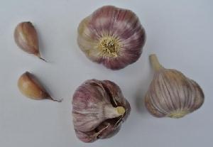 Allium sativum ssp. sagittatum Slavin