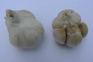 Allium sativum ssp. sativum [50 bulbils] Slavonian (Slavonski)