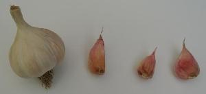 Allium sativum [50 bulbils] Stejeriș