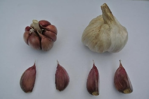Allium sativum ssp. sagittatum [10 bulbils] Aglio Rosso di Sulmona (Sulmona Red)