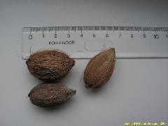 Syagrus cardenasii