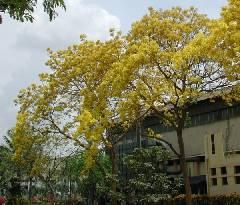 Tabebuia donnel-smithii