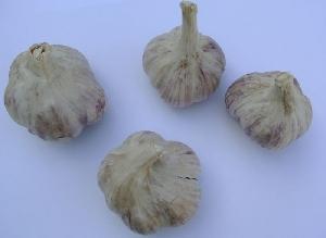 Allium sativum ssp. sagittatum Tantal