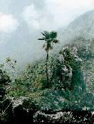 Trachycarpus oreophillus