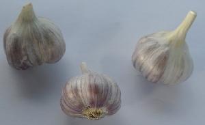 Allium sativum ssp. sagittatum Unikát