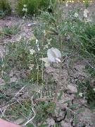 Vicia grandiflora
